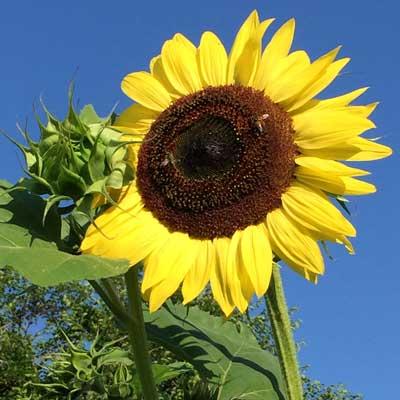 SunflowerYello1