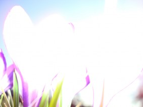Crocus Light